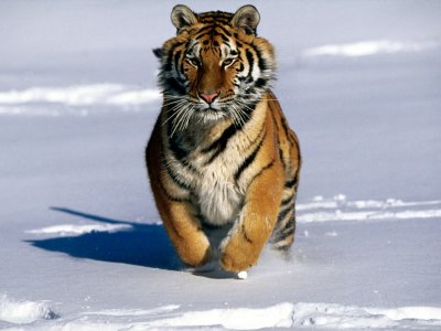 http://www.sheppardsoftware.com/content/animals/animals/mammals/tiger.htm